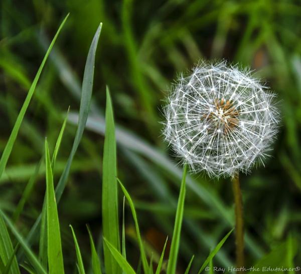Dandelion sparklers pin-cushion by RayHeath