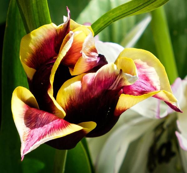 Tulip 3 by Nikonuser1