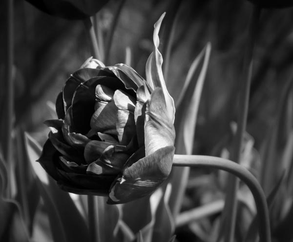 Tulip 4 by Nikonuser1