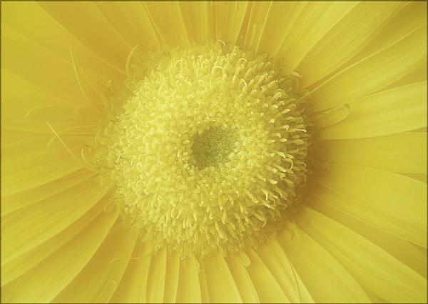 mellow yellow by carmenfuchs