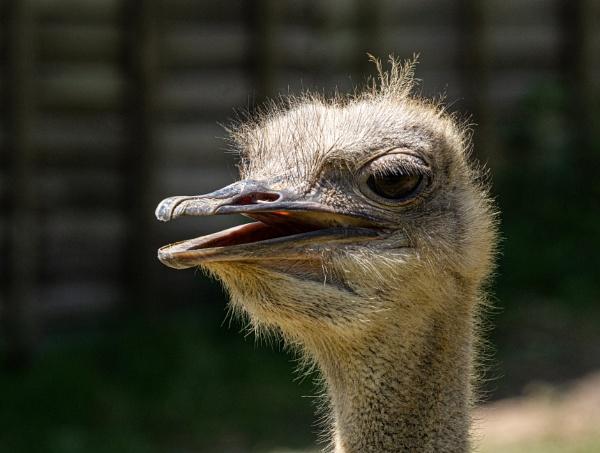 Ostrich Portrait by doverpic