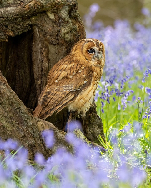 Tawny among the Blue Bells by doverpic