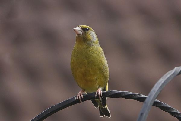Greenfinch by deavilin