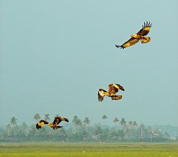 Brahminy kites (Haliastur indus) by Karuma1970