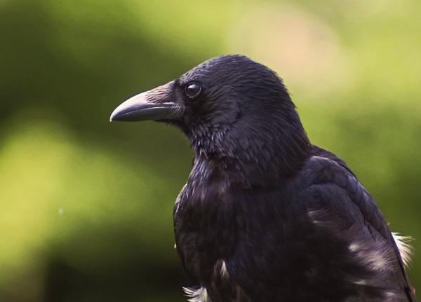 Old Crow (Corvus corone) by photowanderer