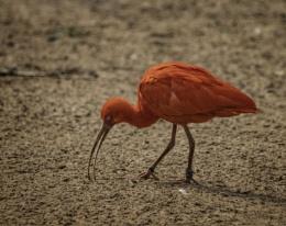 Flamingo?