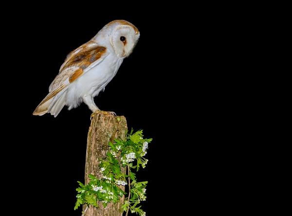 Barn Owl by Stevetheroofer