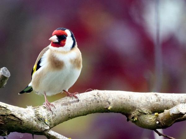 European goldfinch by DerekHollis