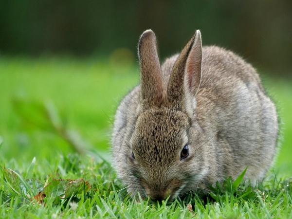 Wild rabbit by DerekHollis