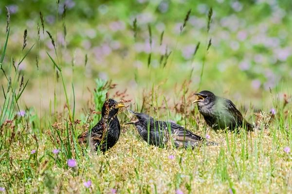 Starlings by aldasack1957