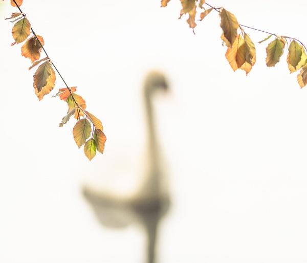 Swan Beech by gerainte1