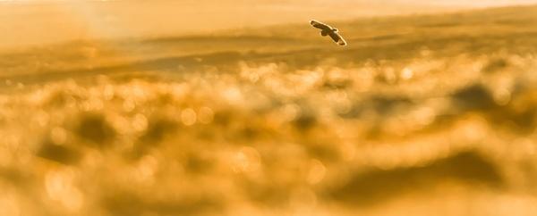 Owl Light / Short Eared Owl by gerainte1