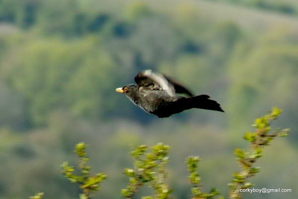 Flying blackbird. by rustyshackleford