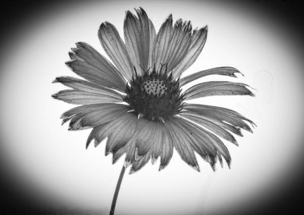 Daisy by RonDM