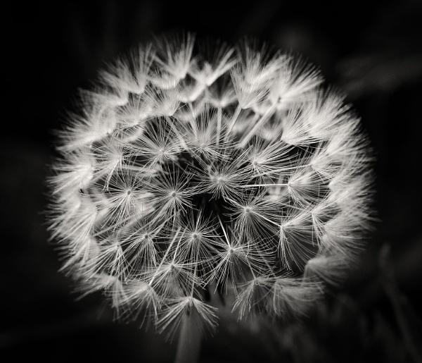 Dandelion Clock by Backabit