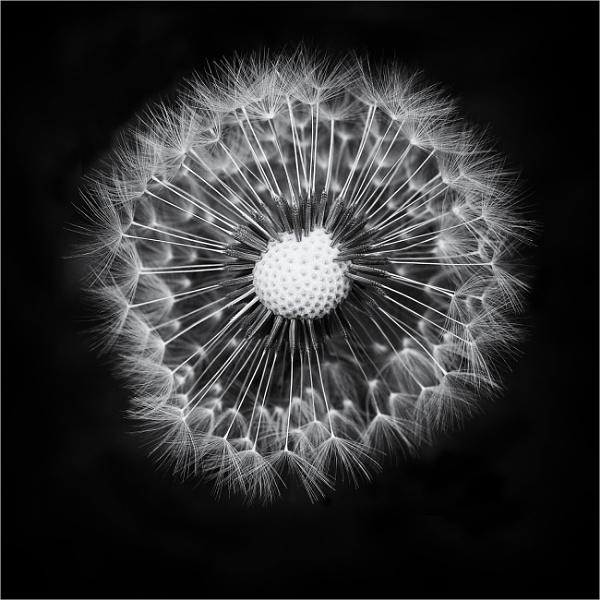 Deconstructed dandelion by fredsphotos