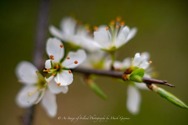 Blossom by ANIMAGEOFIRELAND