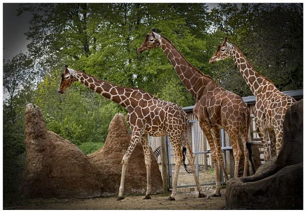 Giraffes by Janetdinah
