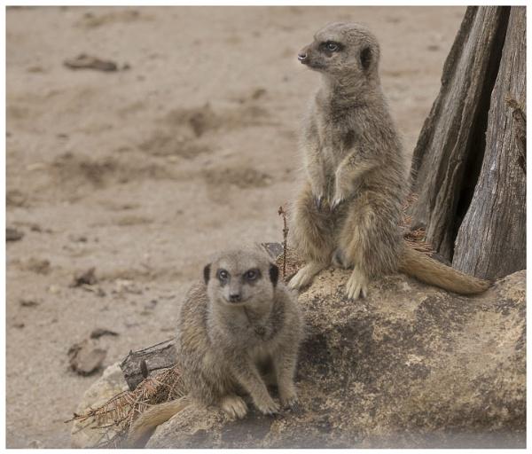 Meercats by Janetdinah