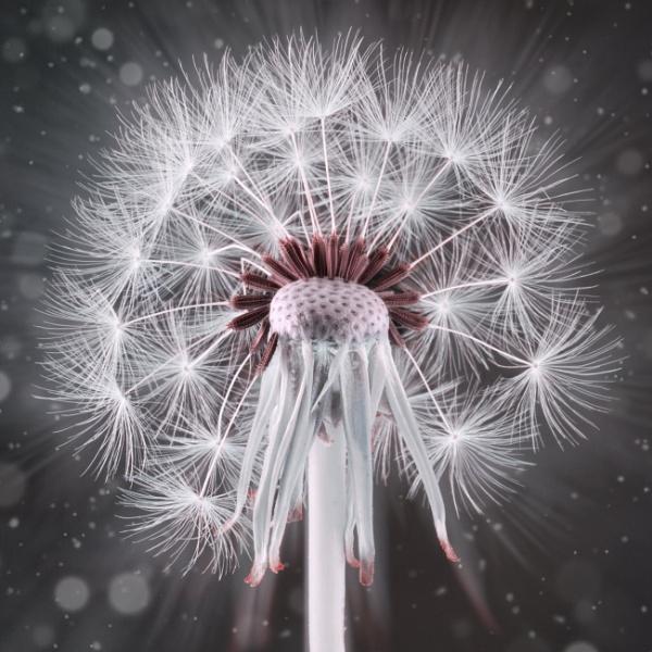 Dandelion by loves2travel