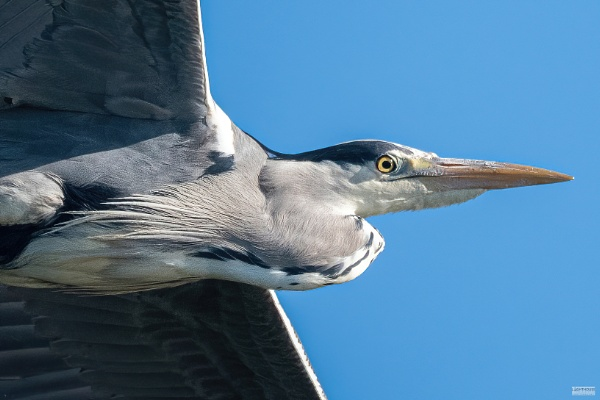 Heron in flight by LighthousePhotography