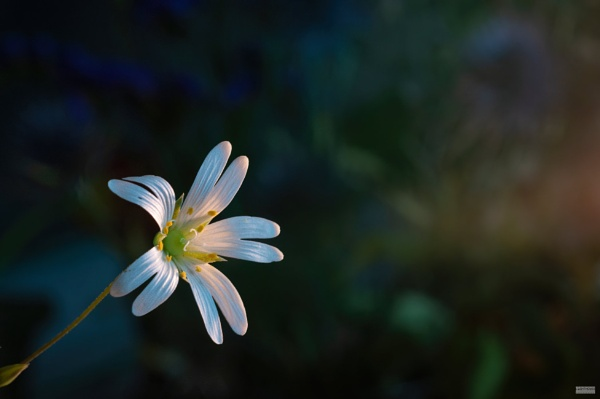 Greater Stitchwort by LighthousePhotography