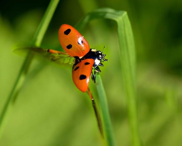 Ladybird in flight by Dorothea