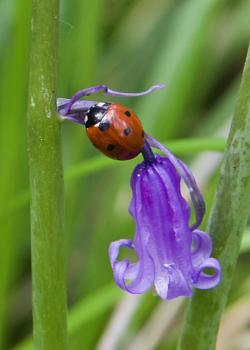 Seven spot Ladybird on Bluebell