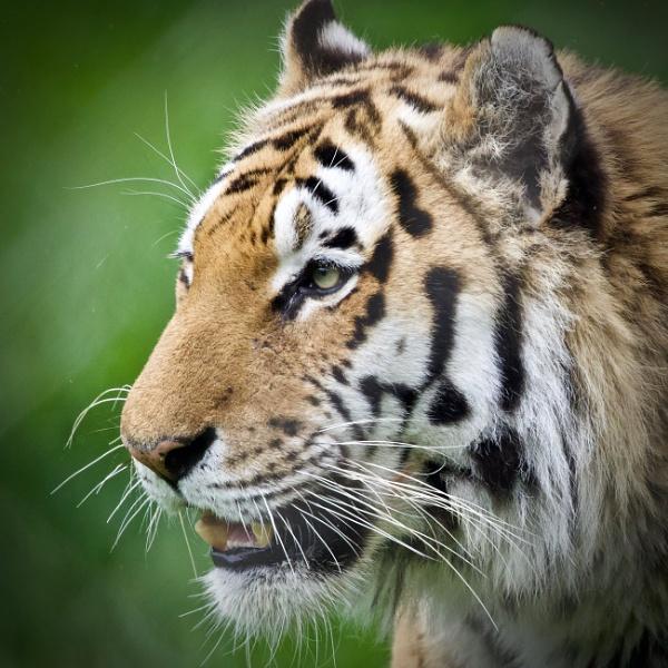 Baigai, Amur Tiger, Marwell 2021 by martin174