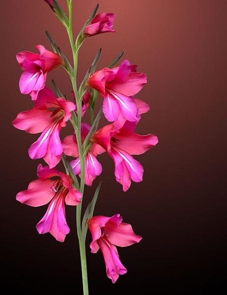 Wild Gladiolus by pamelajean