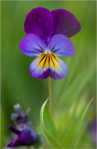 20/52 Wild Pansy (Viola Tricolour) by sherlob