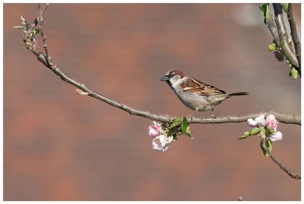 sparrow garden visitor by davidgibson