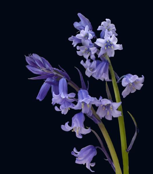 Bluebells on Black 2 by BarbaraR