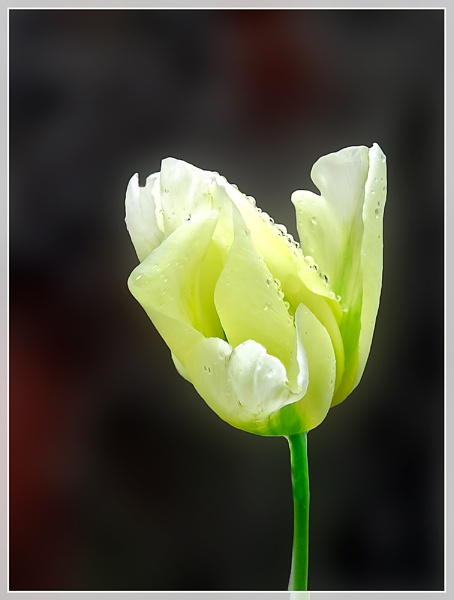 Raindrops On Tulips by Sylviwhalley