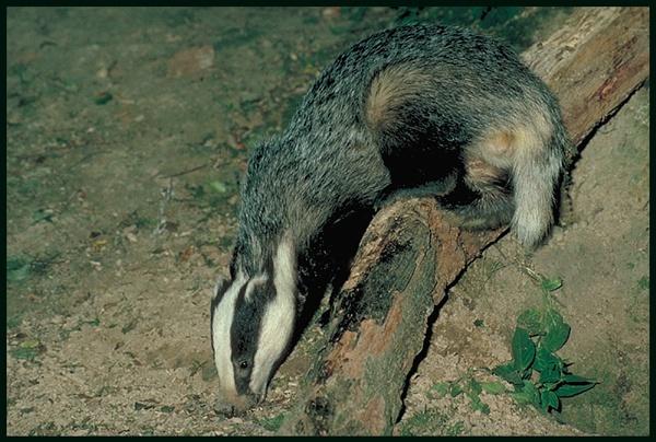Badger Leaving Log ... by Badgerfred