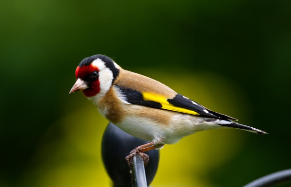 Goldfinch by roge21