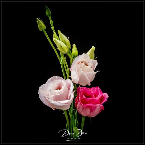 Rose by audi_db