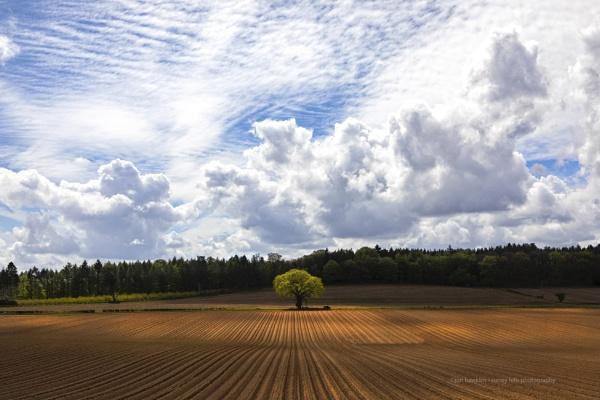 The Lone Oak .. again by SurreyHillsMan