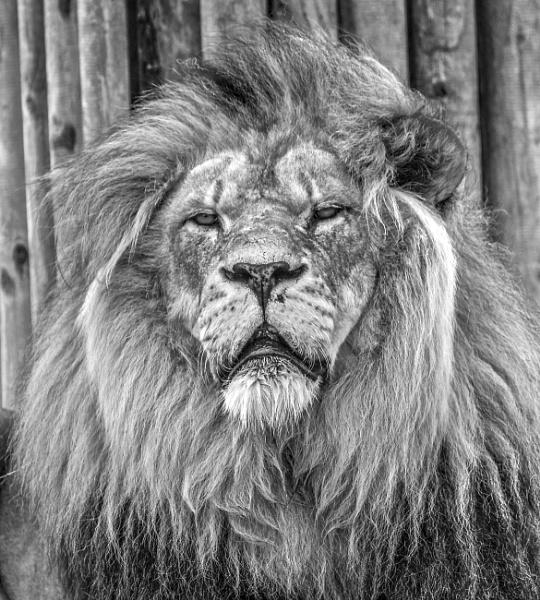 Lion by harrywatson