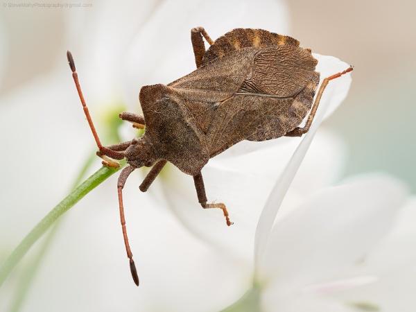 Shieldbug by SWMahy