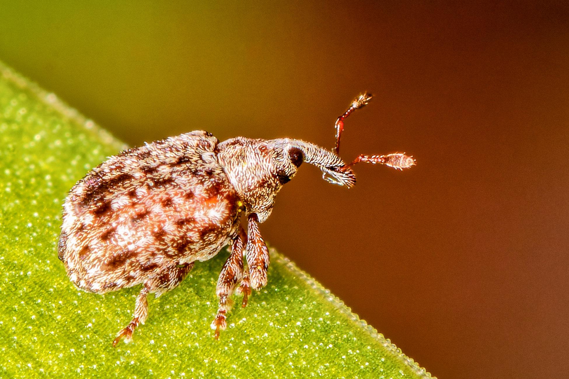 Hairy Weevil