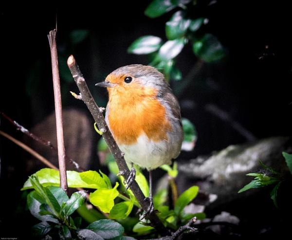 Robin by kelvin7