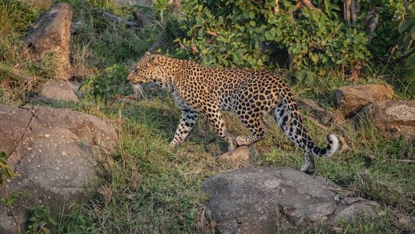 Leopard by rontear
