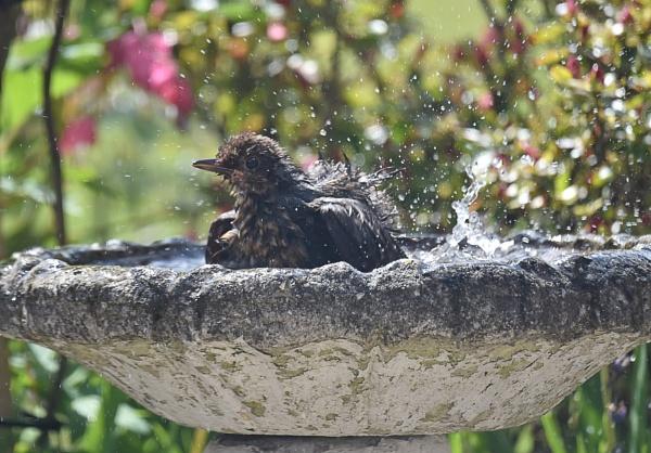 young blackbird in bird bath today by alant2