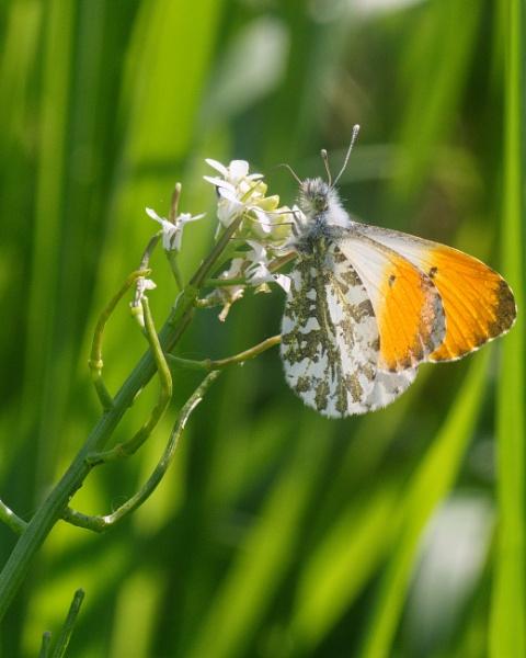 Orange-tip by Alan_Baseley