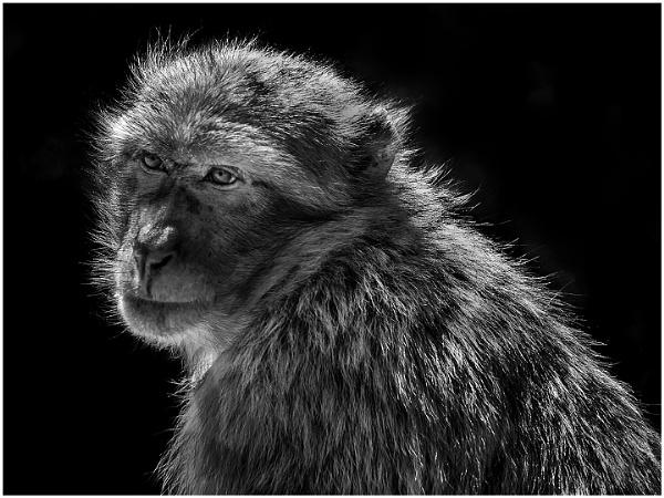 Morocco Monkey by dusfim