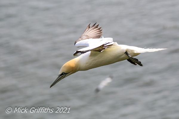 In Flight Northern Gannet by Bazzaspal