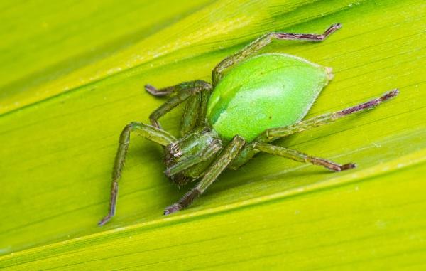 Green huntsman spider by chavender