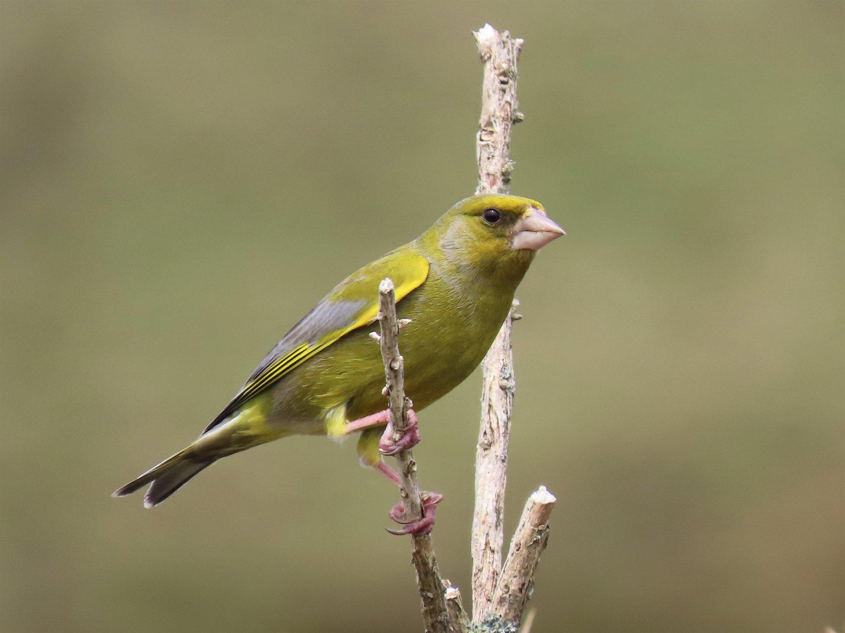 European Greenfinch on Dartmoor