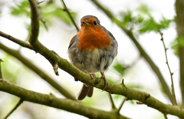 Robin by Bryan_Marshall
